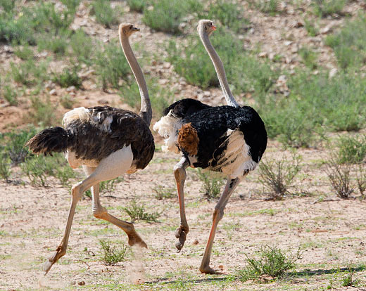 Common Ostrich pair