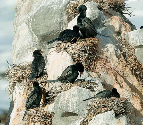 Crowned Cormorants on nests