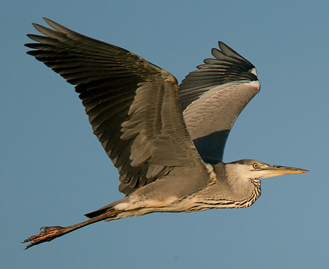 immature Grey Heron in flight