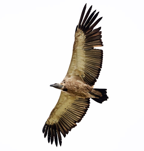 Cape Vulture in flight