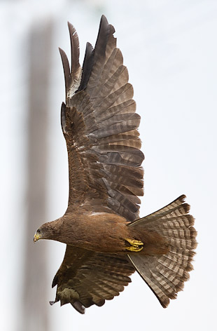 immature Yellow-billed Kite