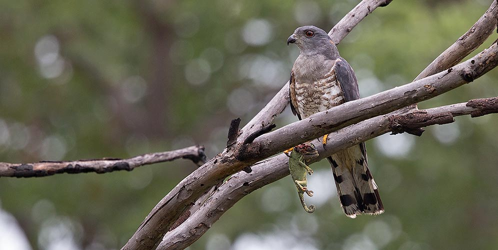 African Cuckoo Hawk with chameleon