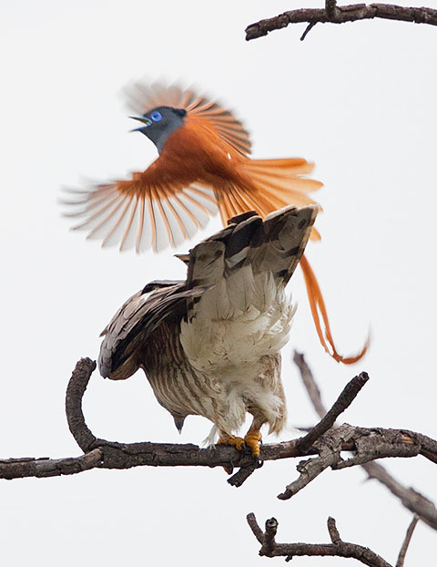 African Cuckoo Hawk being attacked by Paradise Flycatcher