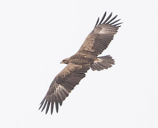 Lesser-spotted Eagle in flight