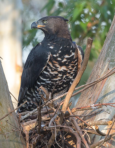 Crowned Eagle male
