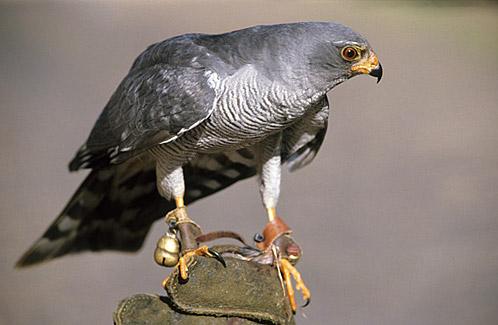 Warwick Tarboton Ovambo Sparrowhawk