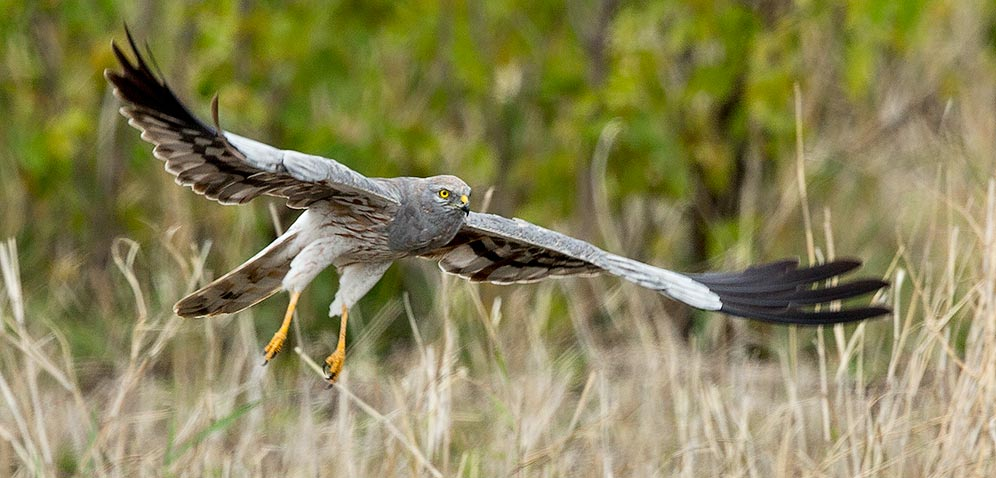 Montagus Harrier taking off