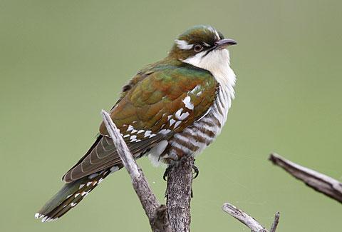 Didric cuckoo chrysococcyx caprius