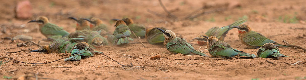 White-fronted Bee-eaters dustbathing