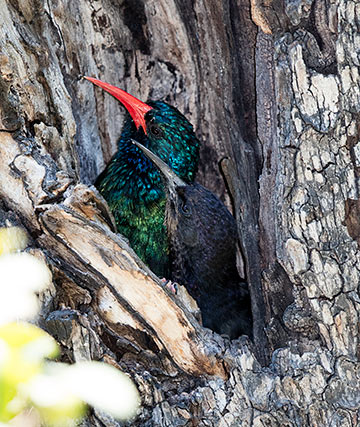 Green Wood-hoopoe adult and juvenile