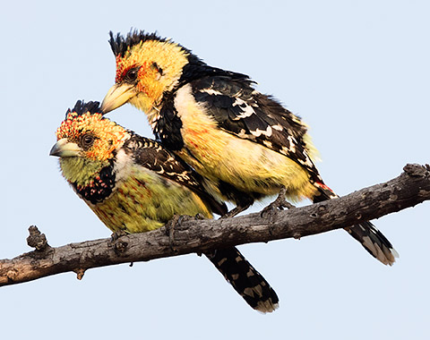 Crested Barbet pair