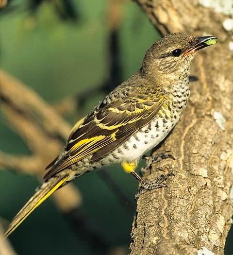 Black cuckoo bird - photo#22