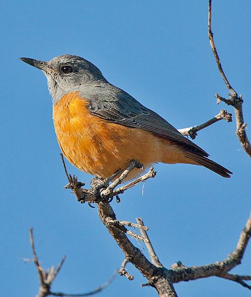 Short-toed Rock-Thrush race pretoriae