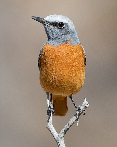 Short-toed Rock-Thrush male