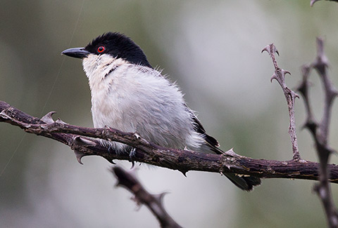Black-backed Puffback male