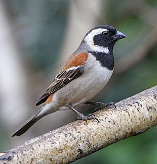 Warwick Tarboton Cape Sparrow