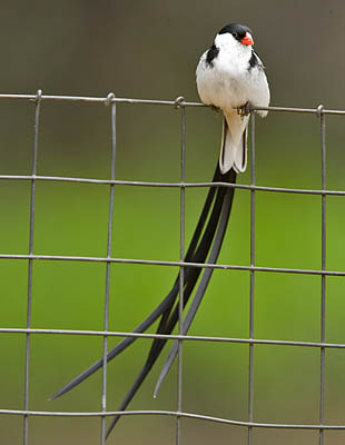Masked Weaver building its nest in a Brazilian pepper tree! 860-Pin-t-Whydah-05092a