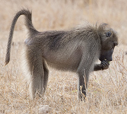Chacma baboon Kruger Park