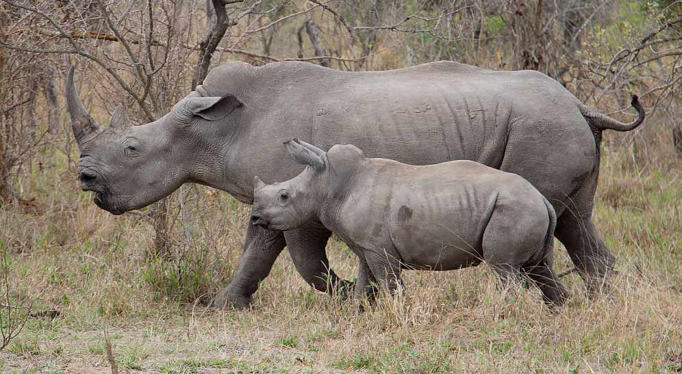 White Rhinoceros female with young