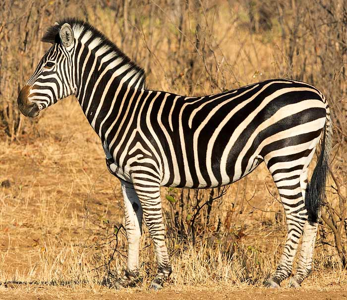 Zebra Without Stripes Plains zebra