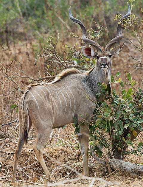 Greater kudu male