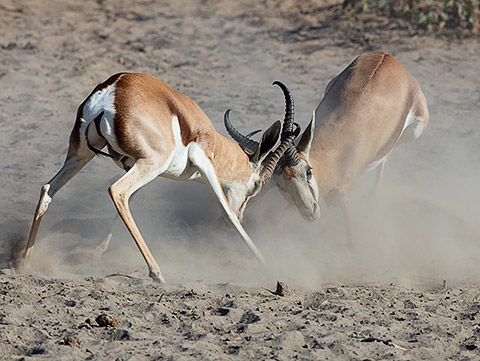 Springbok males fighting